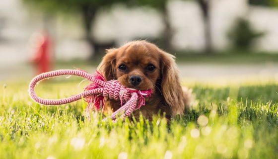 כלב עם חבל